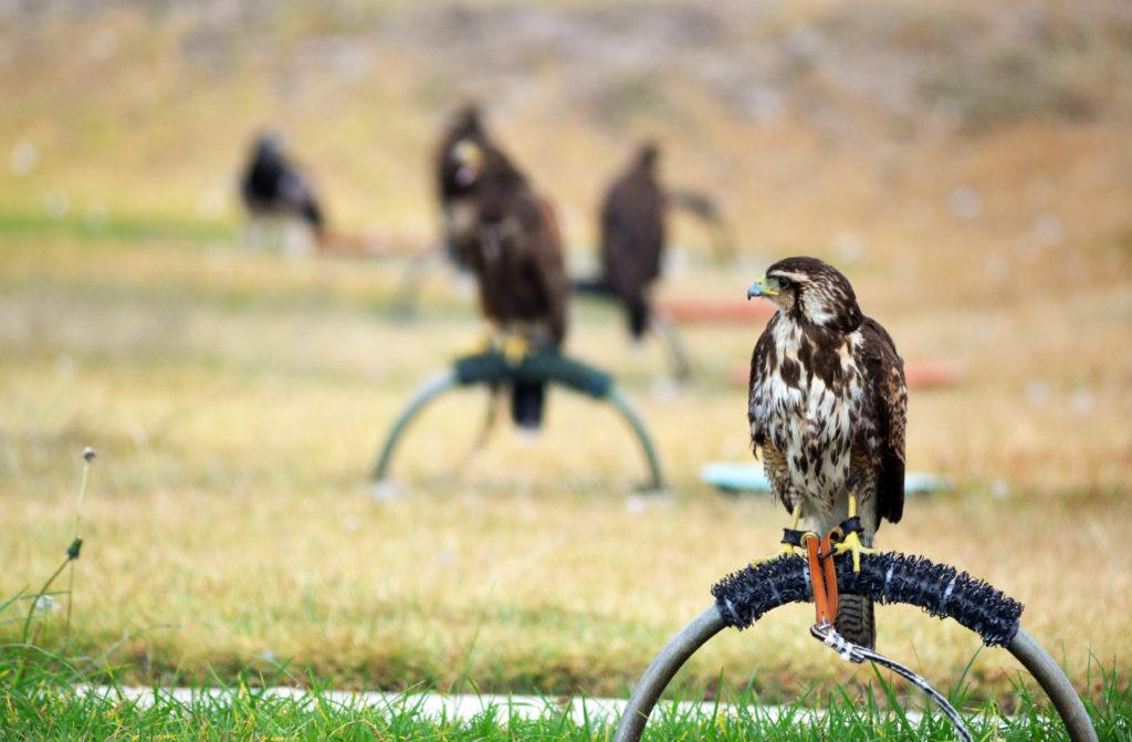 cetreria 1024x671 - La Importancia del Control de Fauna en Aeropuertos